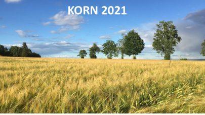Bilde Korn 2021 Foto: Annbjørg Ø. Kristoffersen